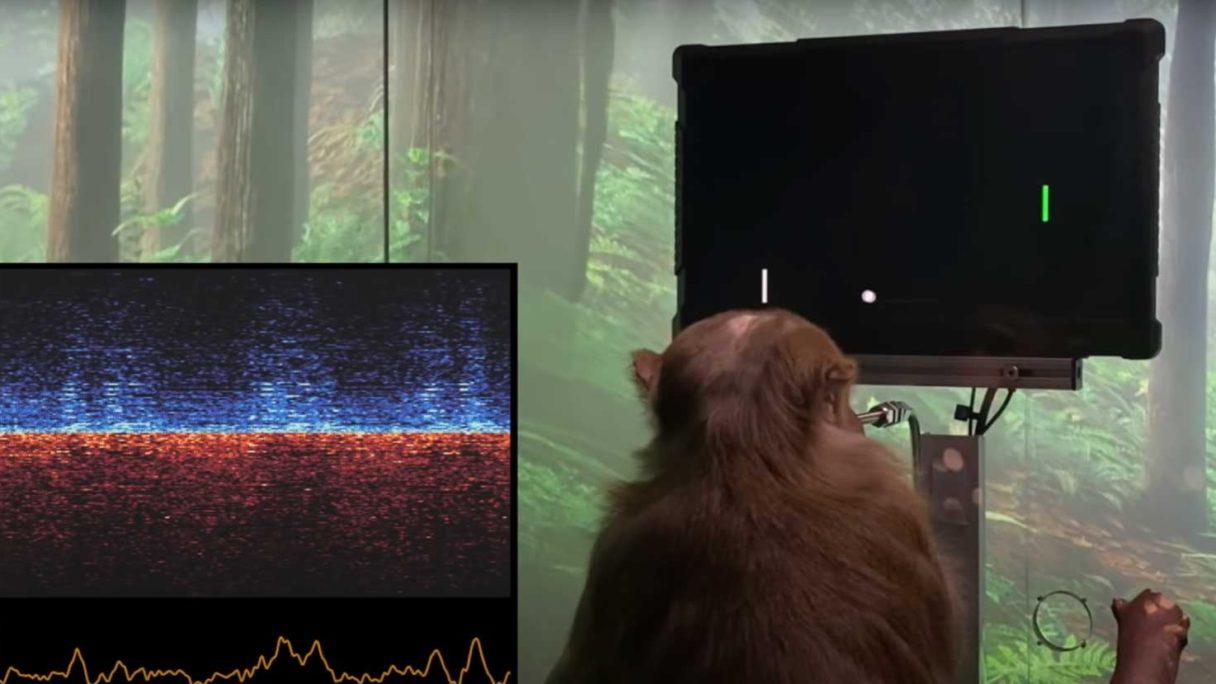 Elon Muska eksperymentuje na małpie, która gra w Ponga