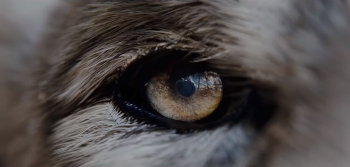 The Wolf oko
